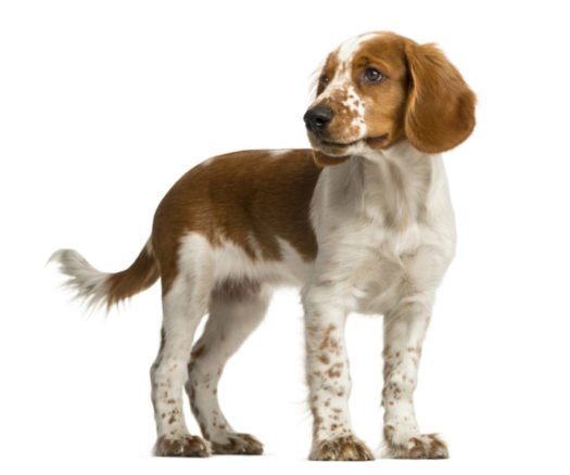 cute Welsh Springer Spaniel puppies for sale