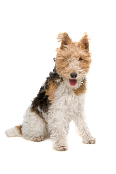 cute Wire Fox Terrier puppies for sale