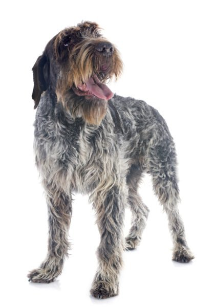 cute Wirehaired Pointing Griffon Puppies