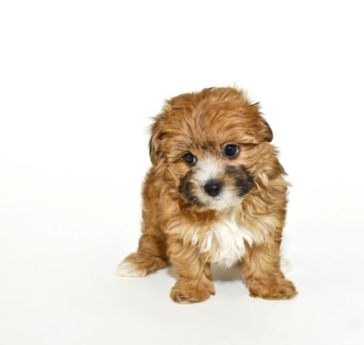 cute Yorki Poo Puppies for sale