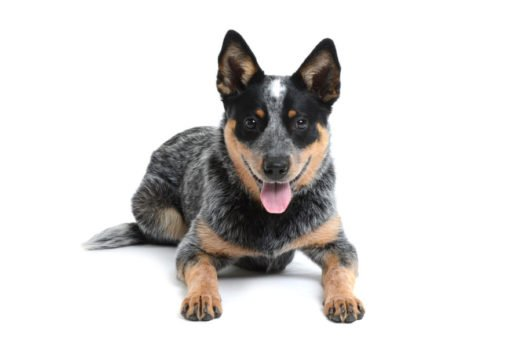 cute Australian Cattle Dog puppies for sale