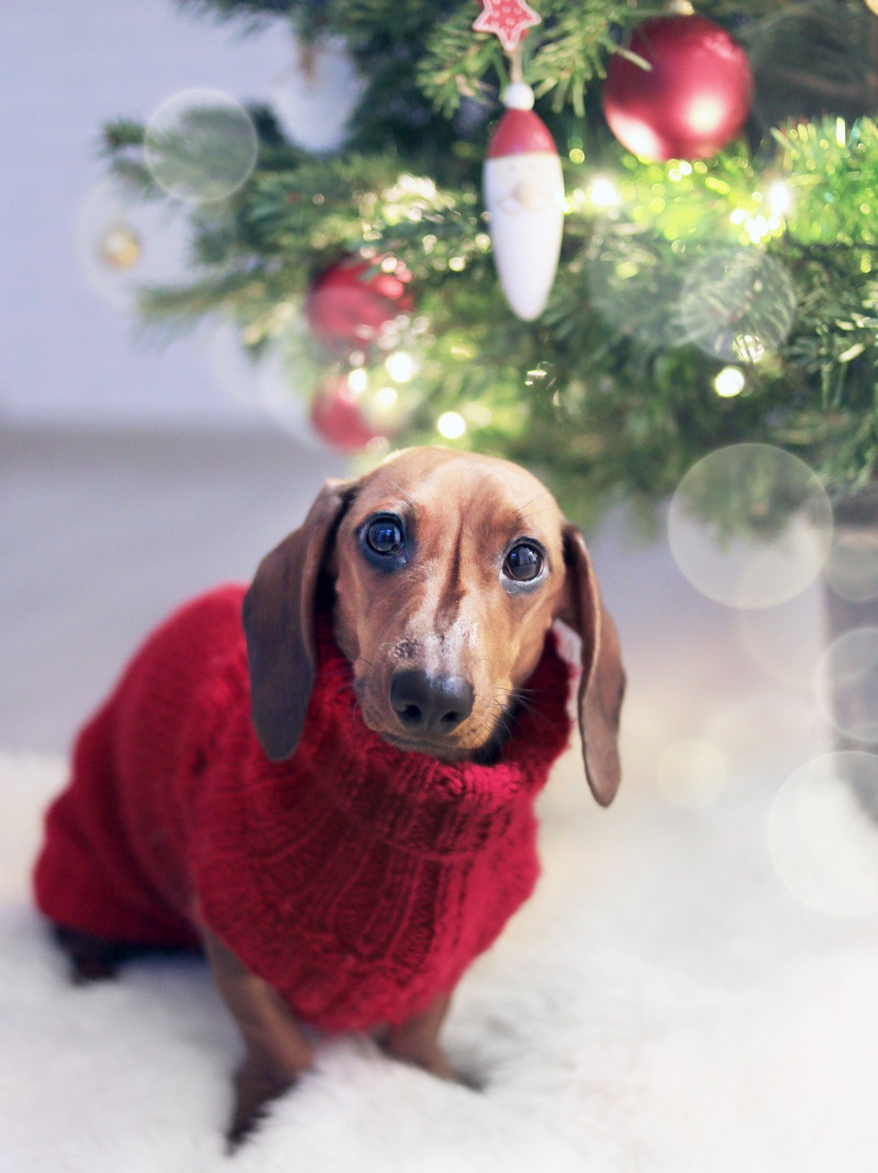 Dachshund wearing a red sweater in front of a Christmas tree.