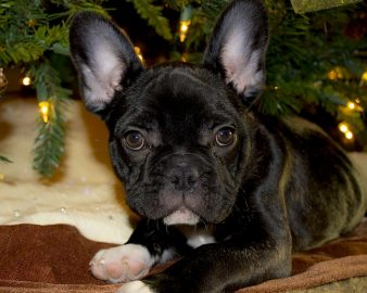 French Bulldog under a Christmas tree
