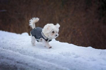 dog running with coat