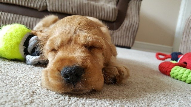 Puppy tired and sleeping after exercising with owner