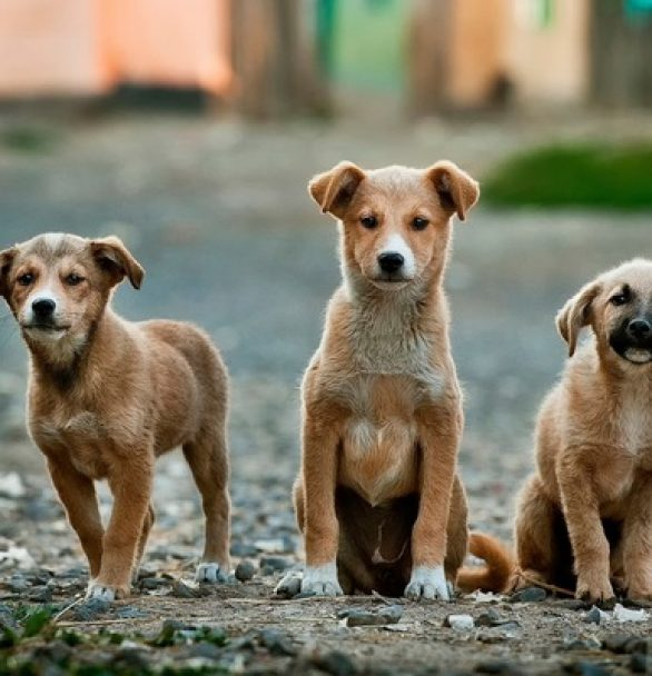 Is It Better to Purchase or Adopt a Puppy?