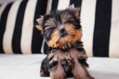 The Top 5 Popular Small Dog Breeds To Consider
