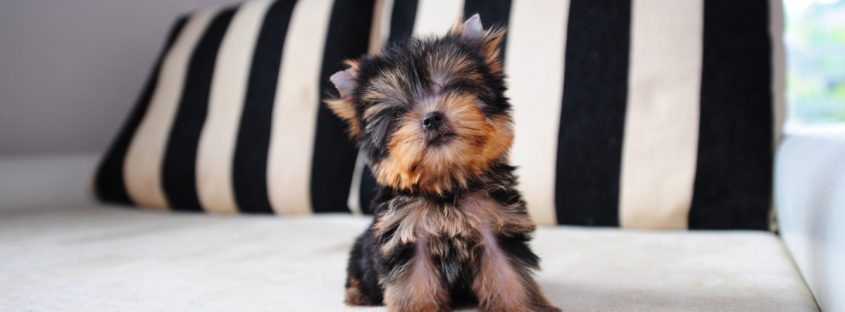Small breed Puppy staring longingly into camera.