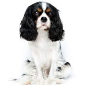 Find info about the cool Cavalier King Charles breed!