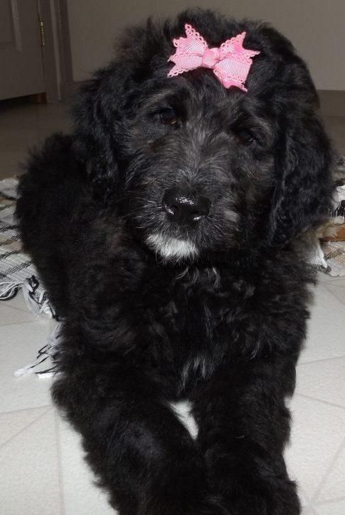 Saint Berdoodle Puppies For Sale