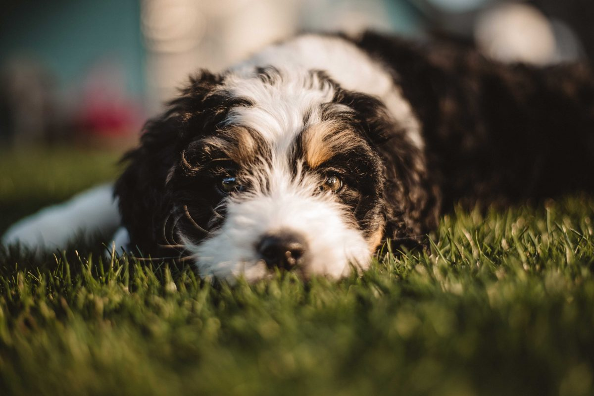 Cute Bernedoodle puppy in the grass