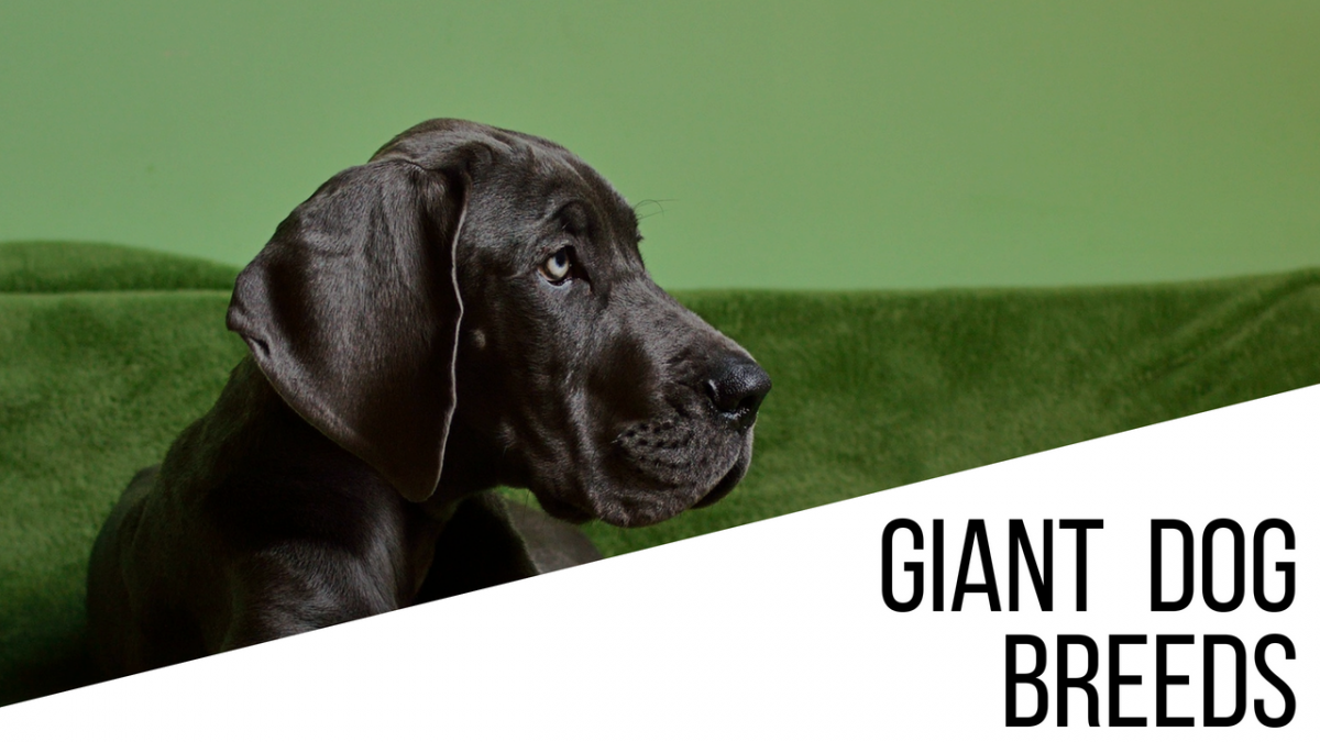 Giant Dog Breeds