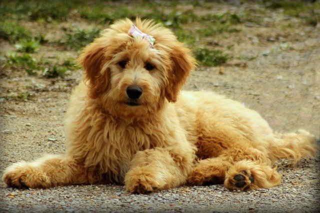 Cute Goldendoodle puppy sitting on lane and smiling