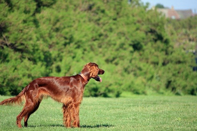 Irish Setter standing in green lawn with distant look.