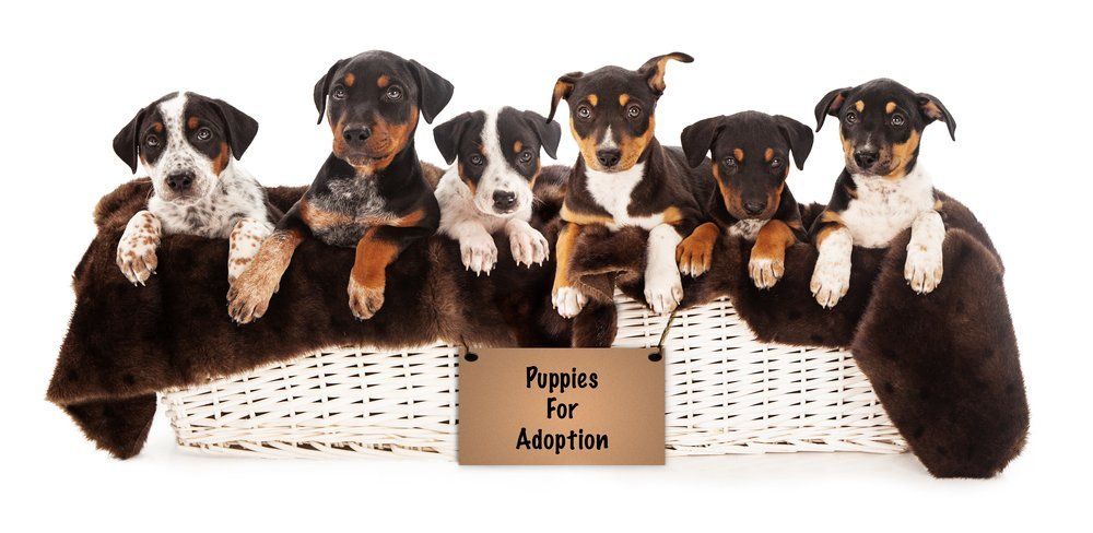 "6 cute puppies in a white basket with a sign that says ""puppies for adoption."""