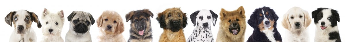 Cute purebred puppies for sale online by responsible breeders!