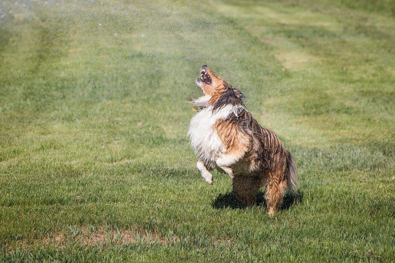 Shelti dog in the yard keeping cool in water sprinkler.