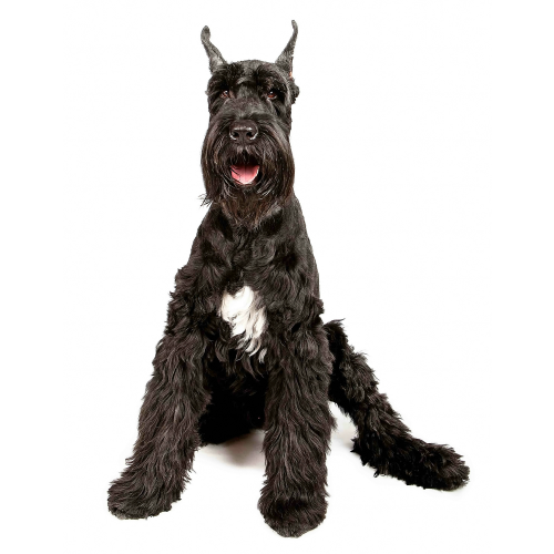 Find giant dog breeds for sale