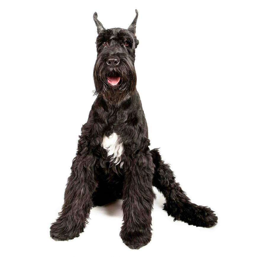 Find giant dog breeds for adoption