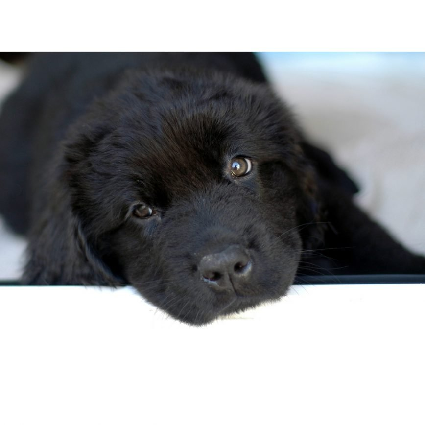 Newfoundlands For Sale Online Fetch A Puppy With Our Puppy Finder