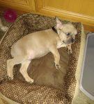 Egor - French Bulldog