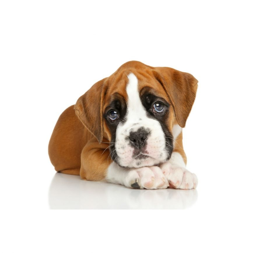 Boxer Puppies For Sale Find Cute Boxers For Sale Online Today At