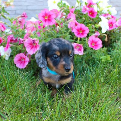 Sawyer - Miniature Dachshund