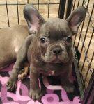 Miss Blue - French Bulldog