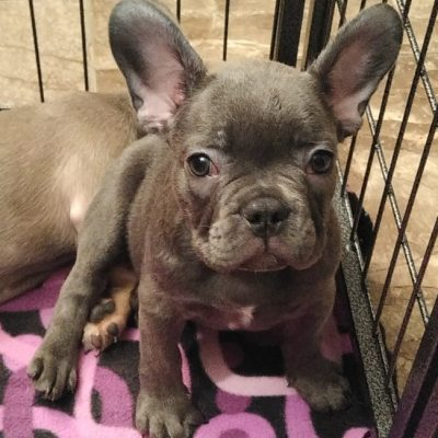 Miss Blue - French Bulldog
