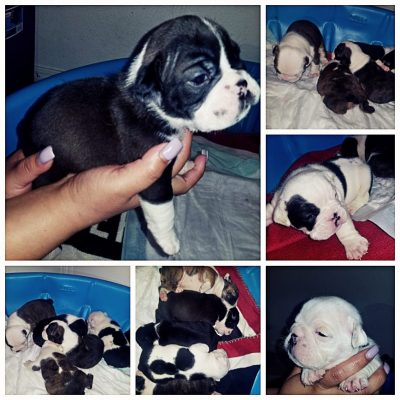 Optimus prime - English Bulldog