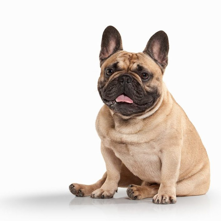Find cute French Bulldog puppies for adoption online today!