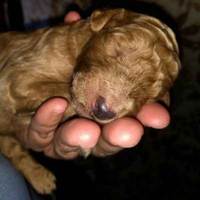 Rudy - A Cute Male AKC Poodle Puppy from Middleton