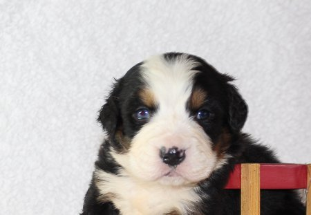 Bennie - An AKC Bernese Mountain Dog for sale in Harlan, Indiana