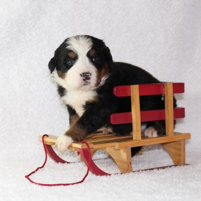 Clifford - A Male AKC Bernese Mountain Dog for sale in Harlan, Indiana