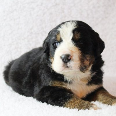 Prancer - An AKC Bernese Mountain Dog for sale in Harlan, Indiana
