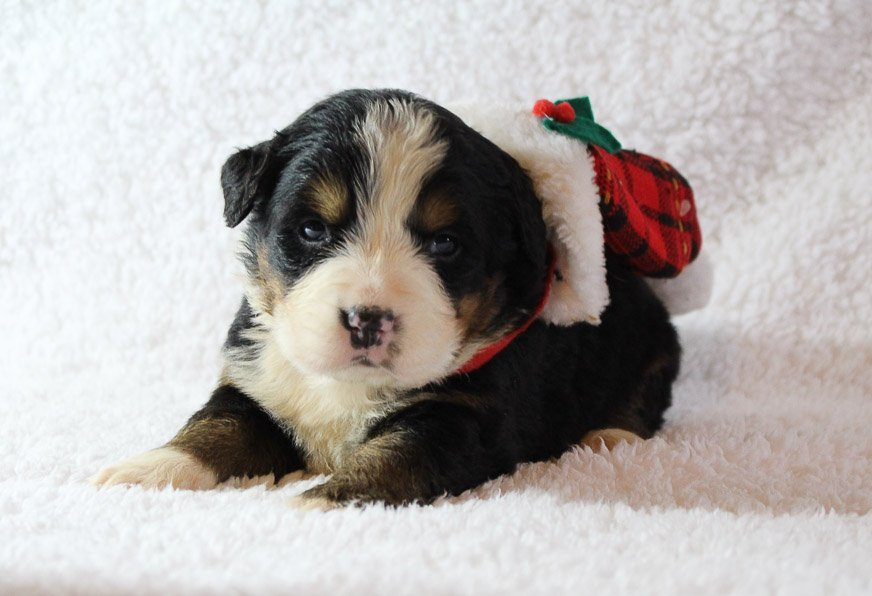 Bentley - A Male AKC Bernese Mountain Dog for sale in Harlan, Indiana