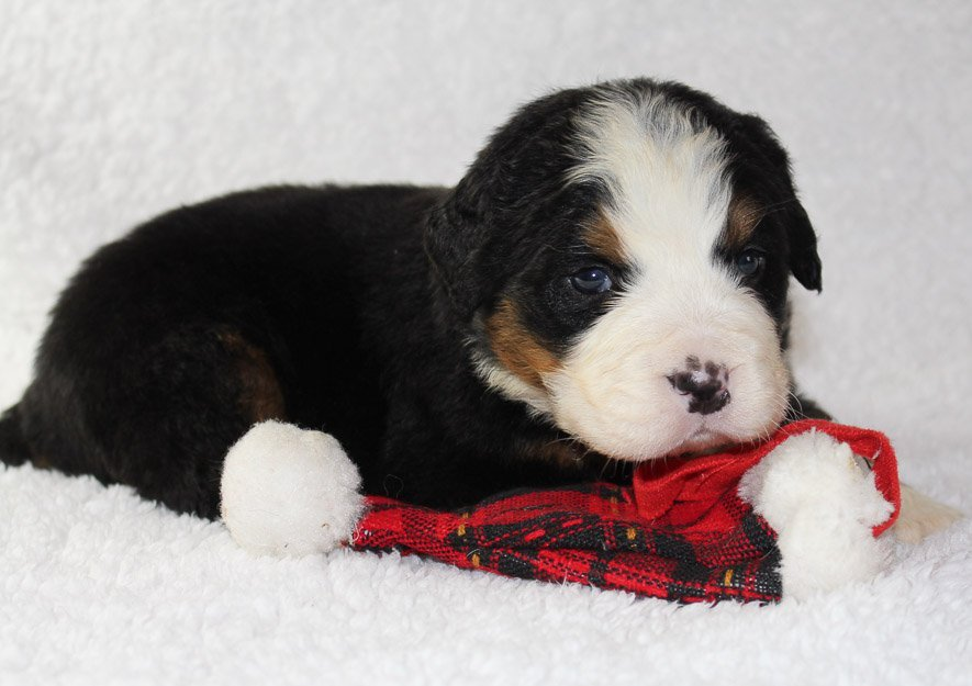 Baxter - A Male AKC Bernese Mountain Dog for sale in Indiana