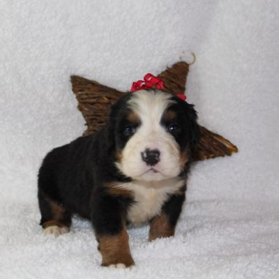 Angel - A Female AKC Bernese Mountain Dog for sale in Harlan, Indiana