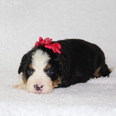 Holly - A Female AKC Bernese Mountain Dog for sale in Harlan, Indiana