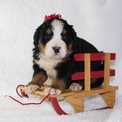 Jingle - A Playful AKC Bernese Mountain Dog for sale in Harlan, Indiana