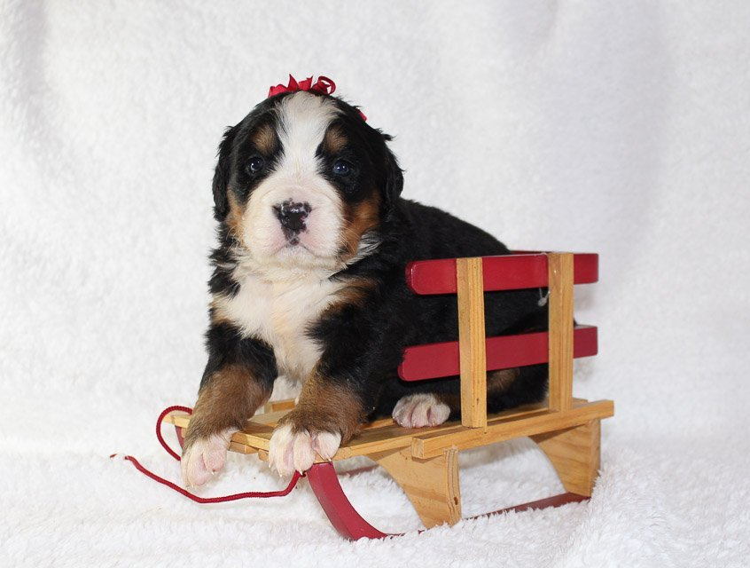 bernese mountain dog puppies indiana