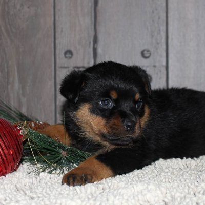Roxie - A Female AKC Rottweiler Puppy from New Haven, Indiana