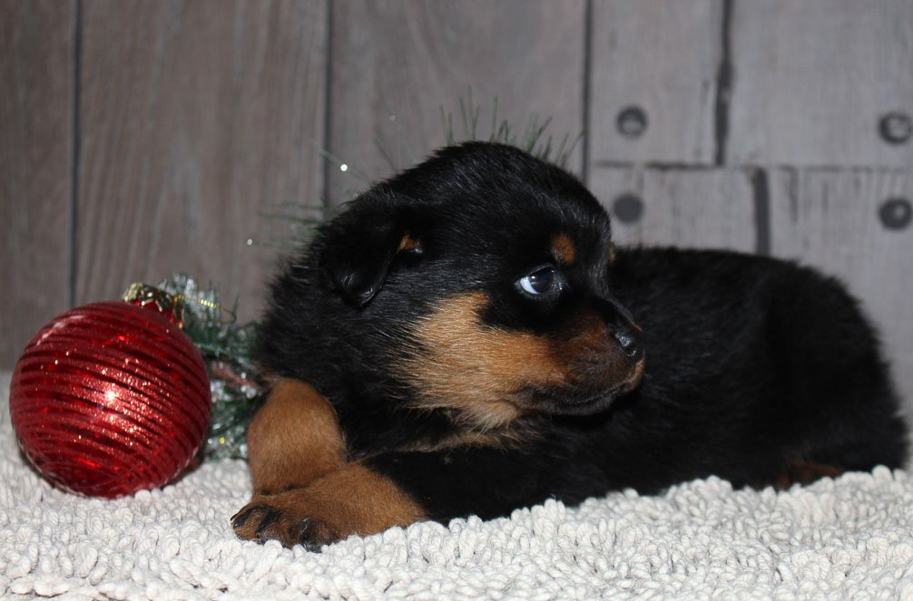 Roxie A Female Akc Rottweiler Puppy From New Haven Indiana