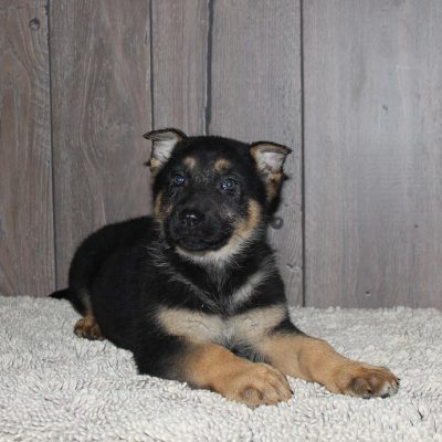 Gayla - A Female AKC German Shepherd Puppy from New Haven, Indiana