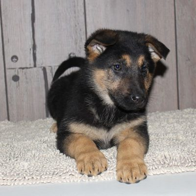 Gracelyn - A Female German Shepherd Puppy in New Haven, Indiana