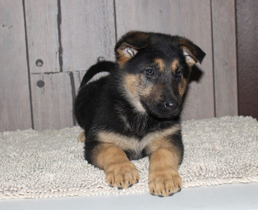 Gracelyn A Female German Shepherd Puppy In New Haven Indiana