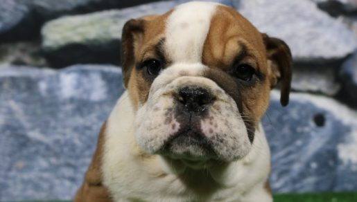 Trixie  - English Bulldog