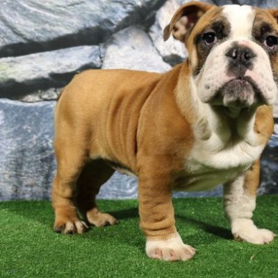 Casi - English Bulldog