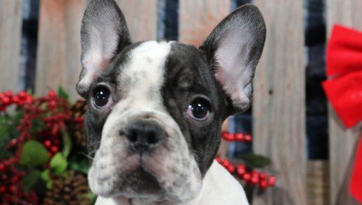 Leo - French Bulldog
