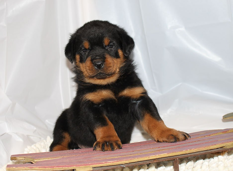 Baxter - A Male AKC Rottweiler Puppy for sale in Shipshewana, Indiana
